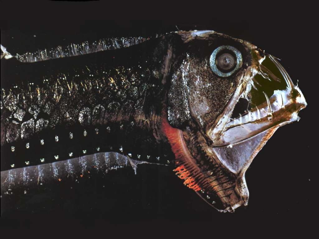 Scaly dragonfish side view wallpaper