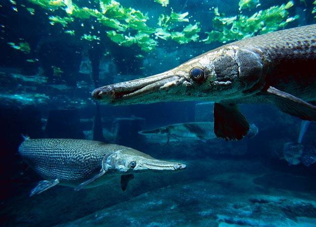 Страшный аллигатор рыба фото