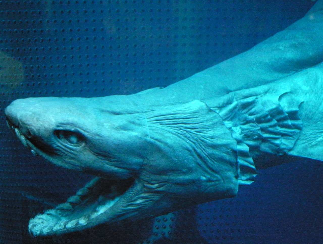 Scary frilled shark wallpaper