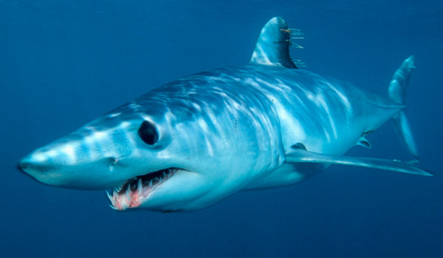 Scary mako shark wallpaper