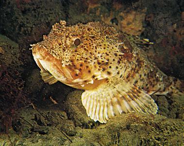 Scorpionfish head wallpaper