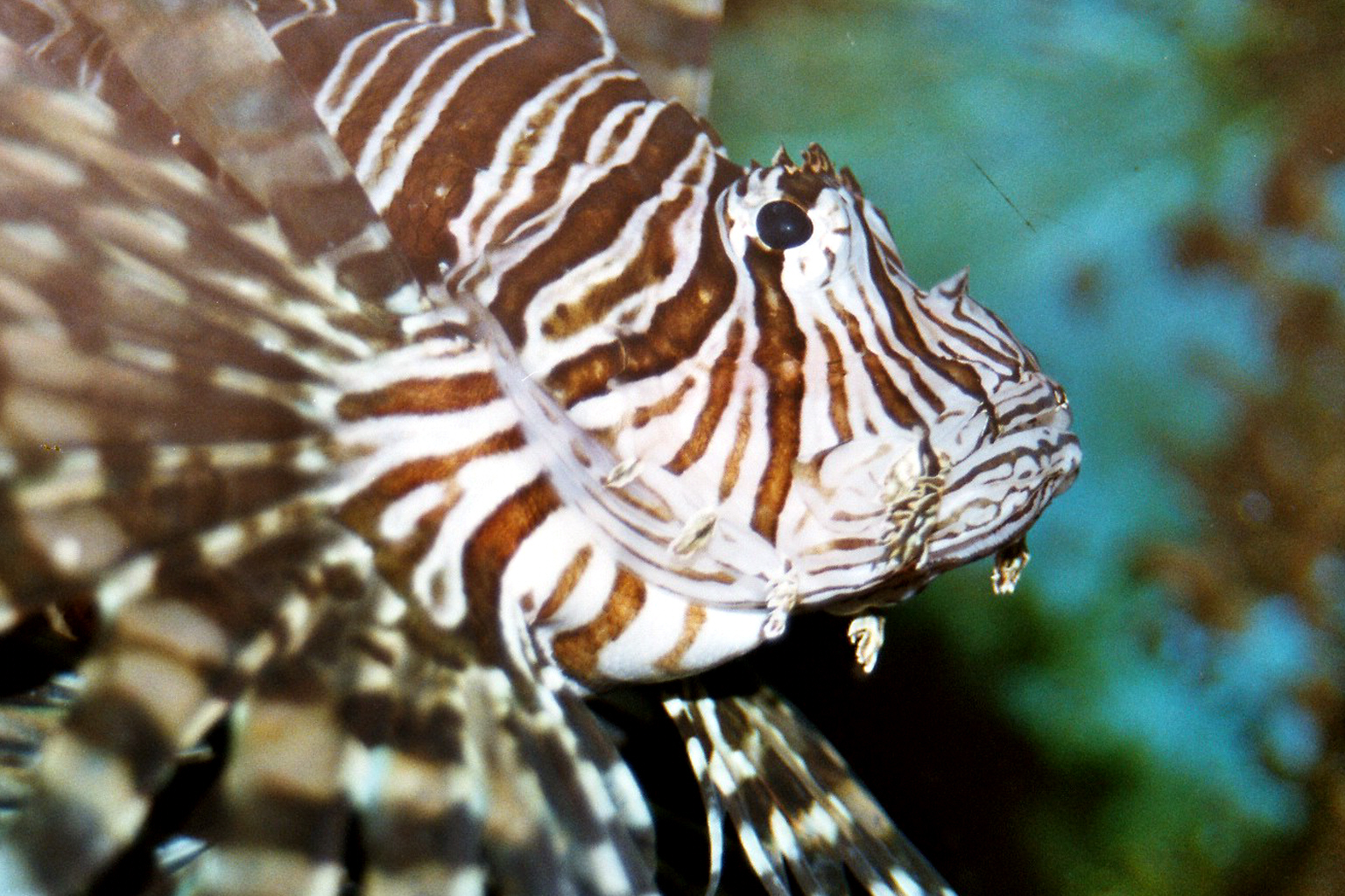 Scorpionfish wallpaper