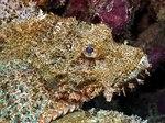Scorpionfish side view