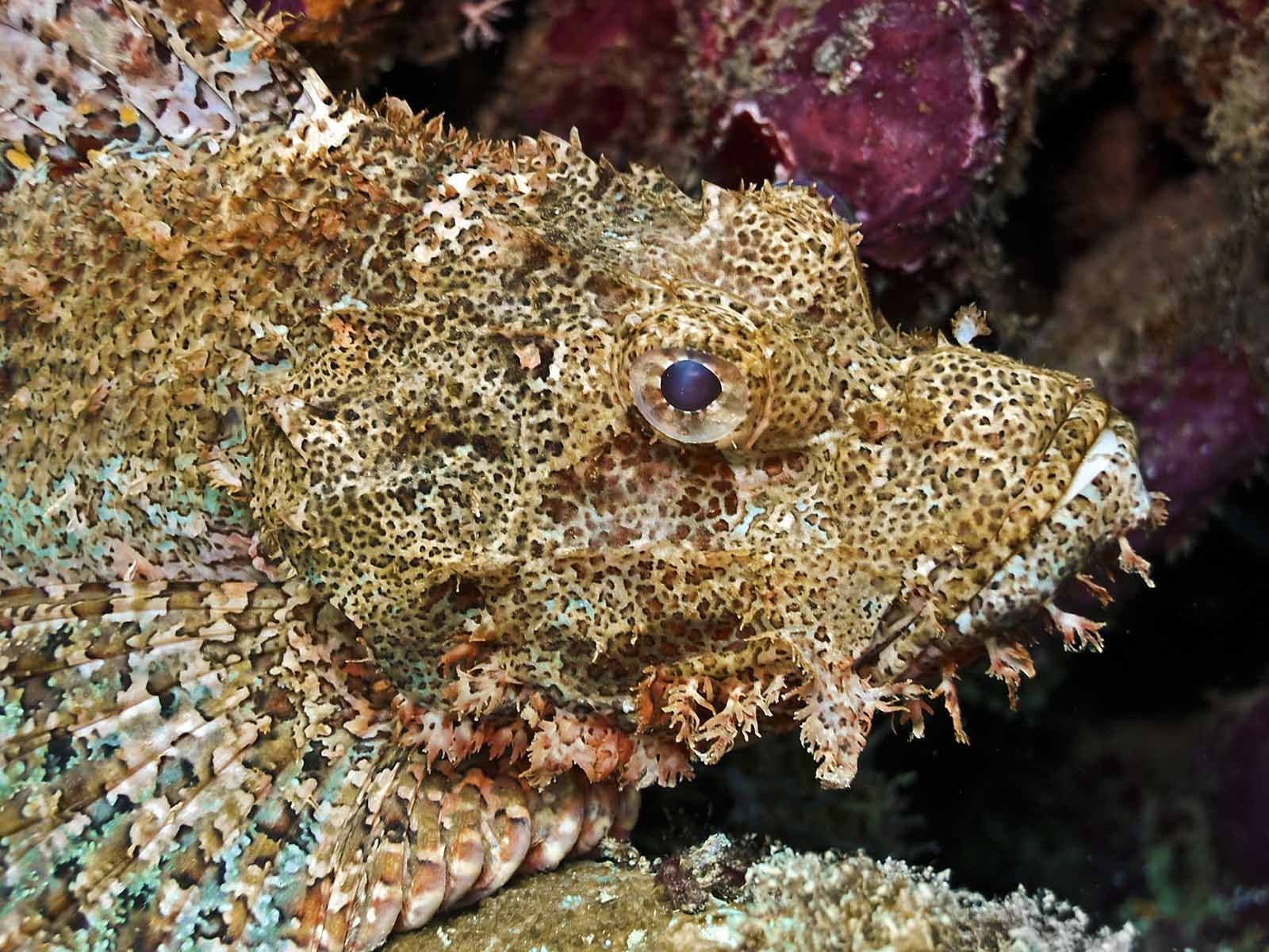 Scorpionfish side view wallpaper