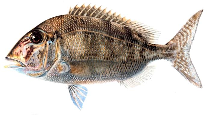 Sea bream wallpaper