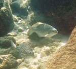 Sea chubs