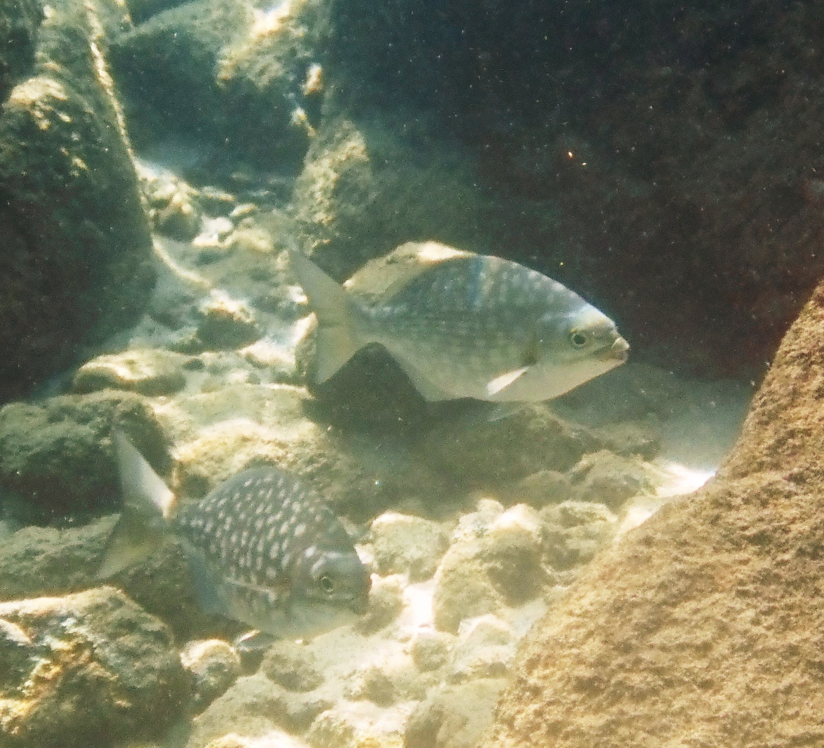 Sea chubs  wallpaper
