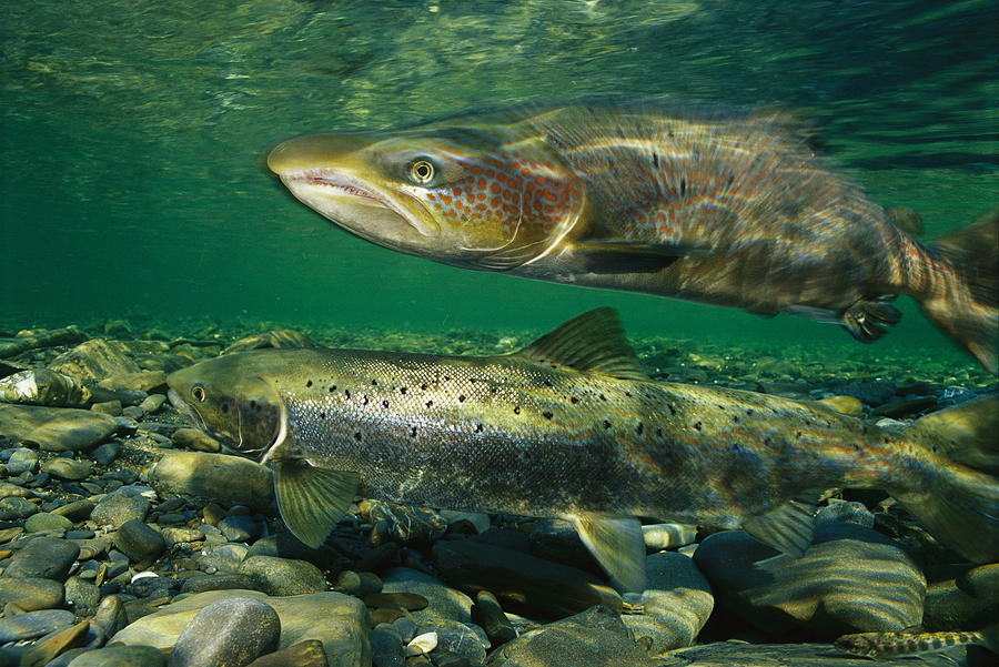Sea salmon wallpaper