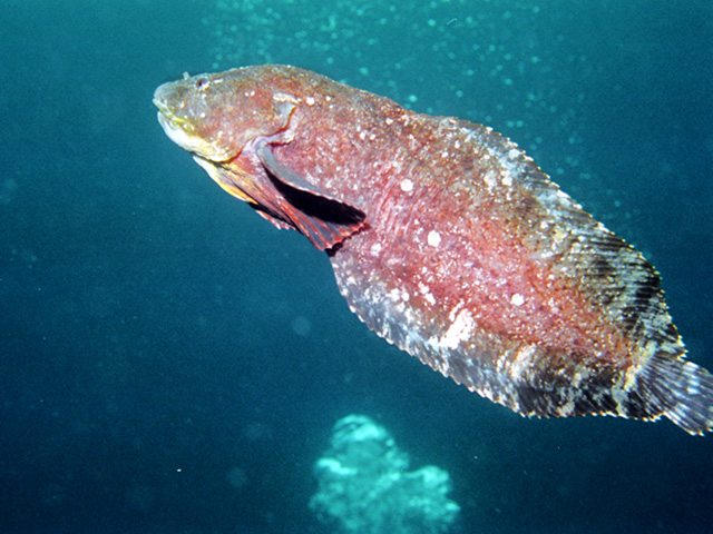 Плавающий Липарис фото
