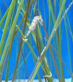 Seahorse among the seaweed
