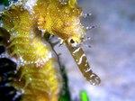 Seahorse face