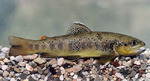 Sevan trout fish