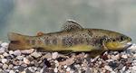 Sevan trout fish