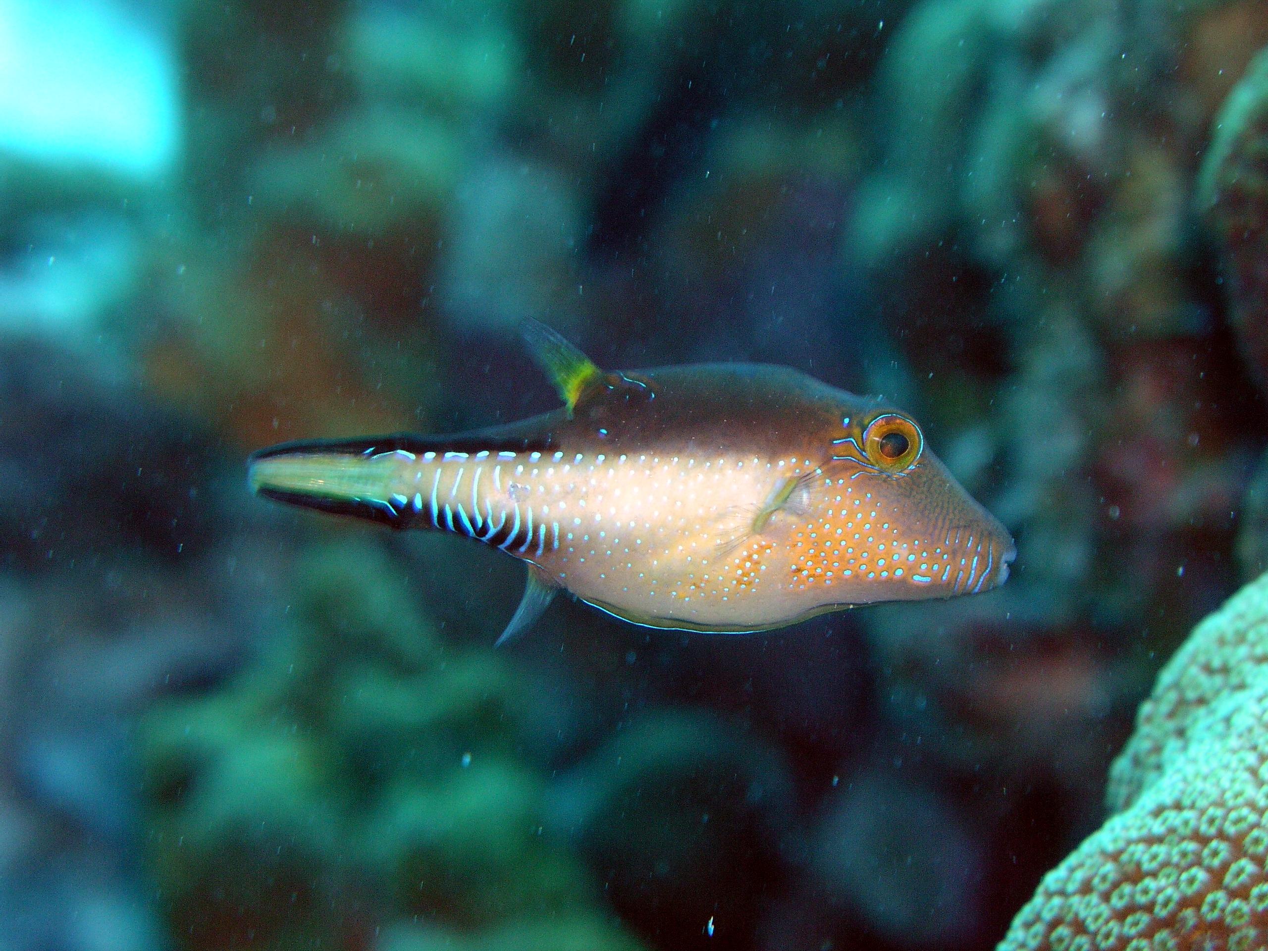 Sharp-Nose Puffer in the aquarium wallpaper