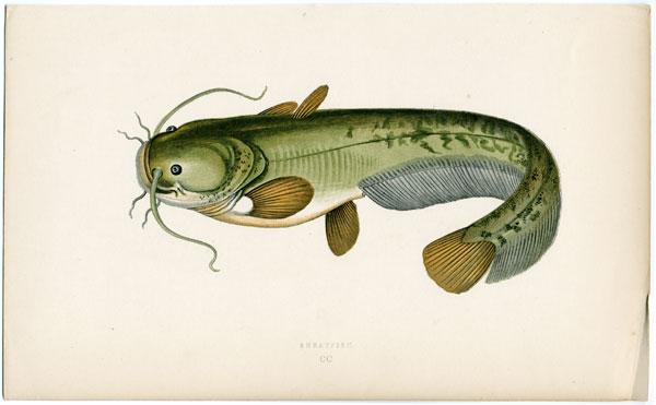 Sheatfish drawing photo and wallpaper. Cute Sheatfish drawing pictures