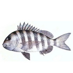 Sheepshead drawing