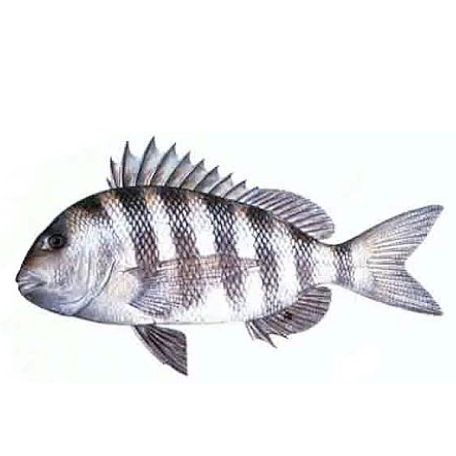 Sheepshead drawing wallpaper