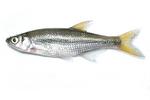 Shiner fish
