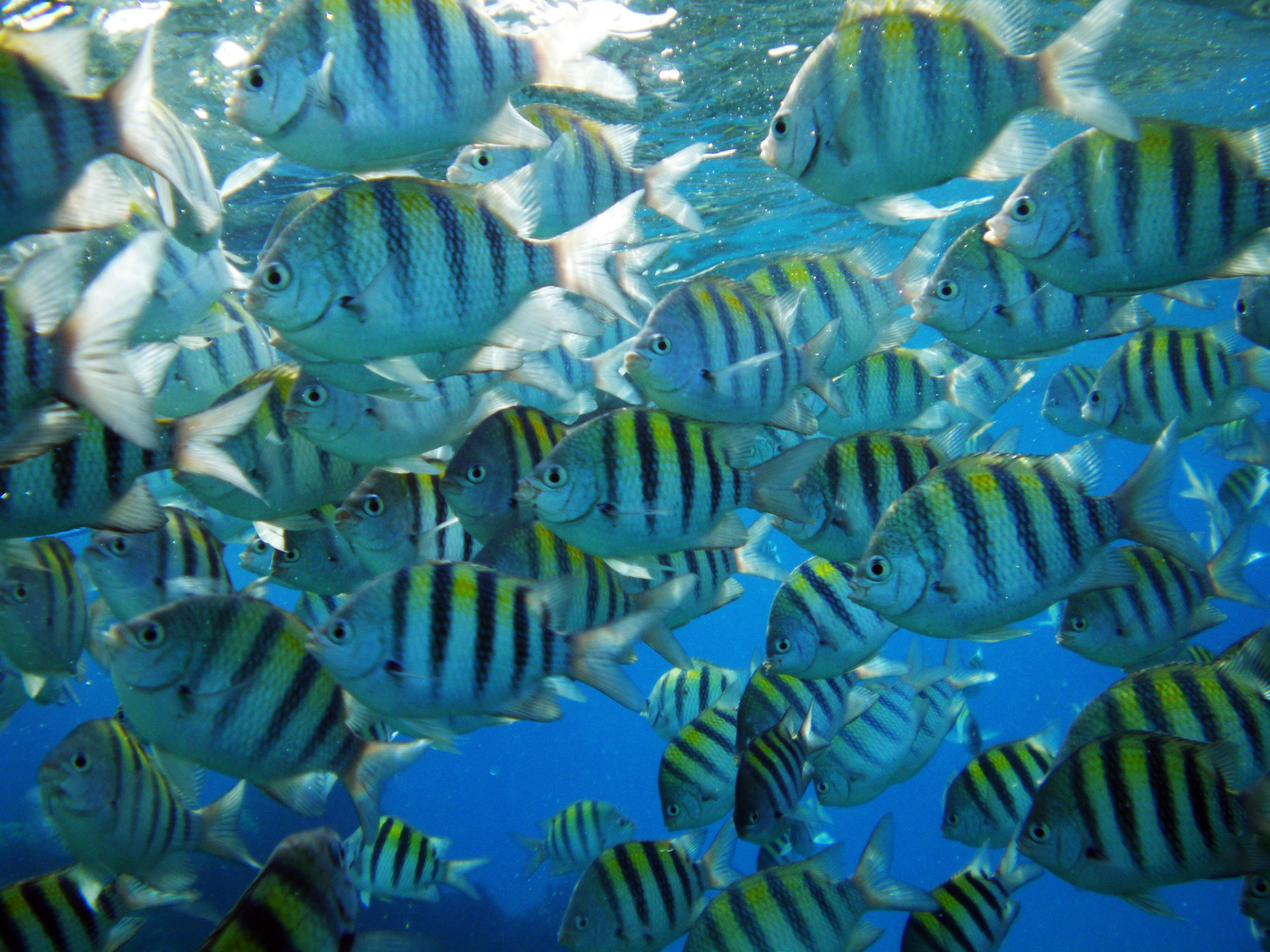 Shoal of píntano fishes wallpaper