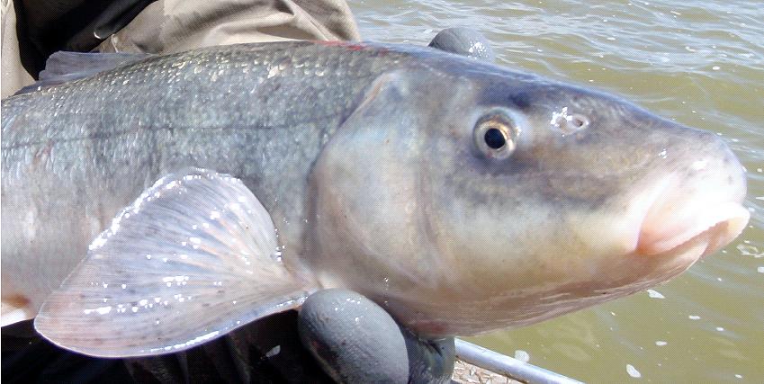 Shortnose sucker fish wallpaper