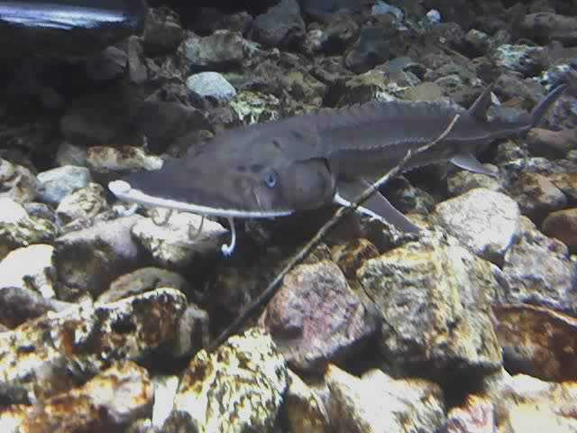 Shovelnose sturgeon wallpaper
