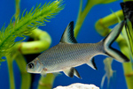 Silver Bala shark