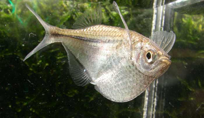 Silver hatchetfish wallpaper