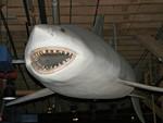 Sixgill shark face