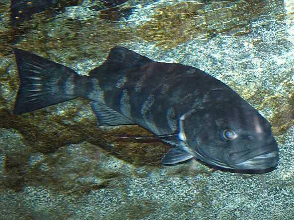 Угольная рыба на дне фото