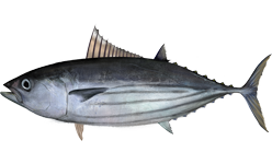 Skipjack tuna wallpaper