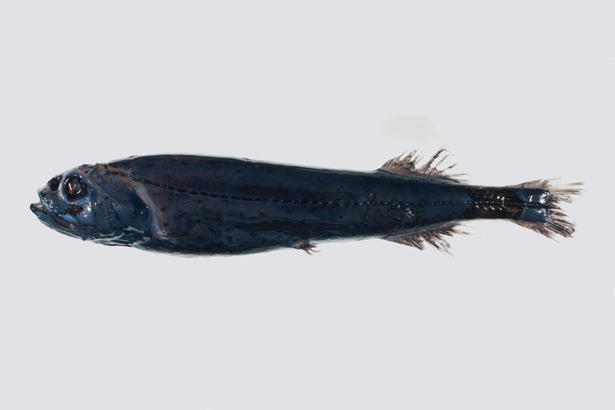 Slickhead fish wallpaper