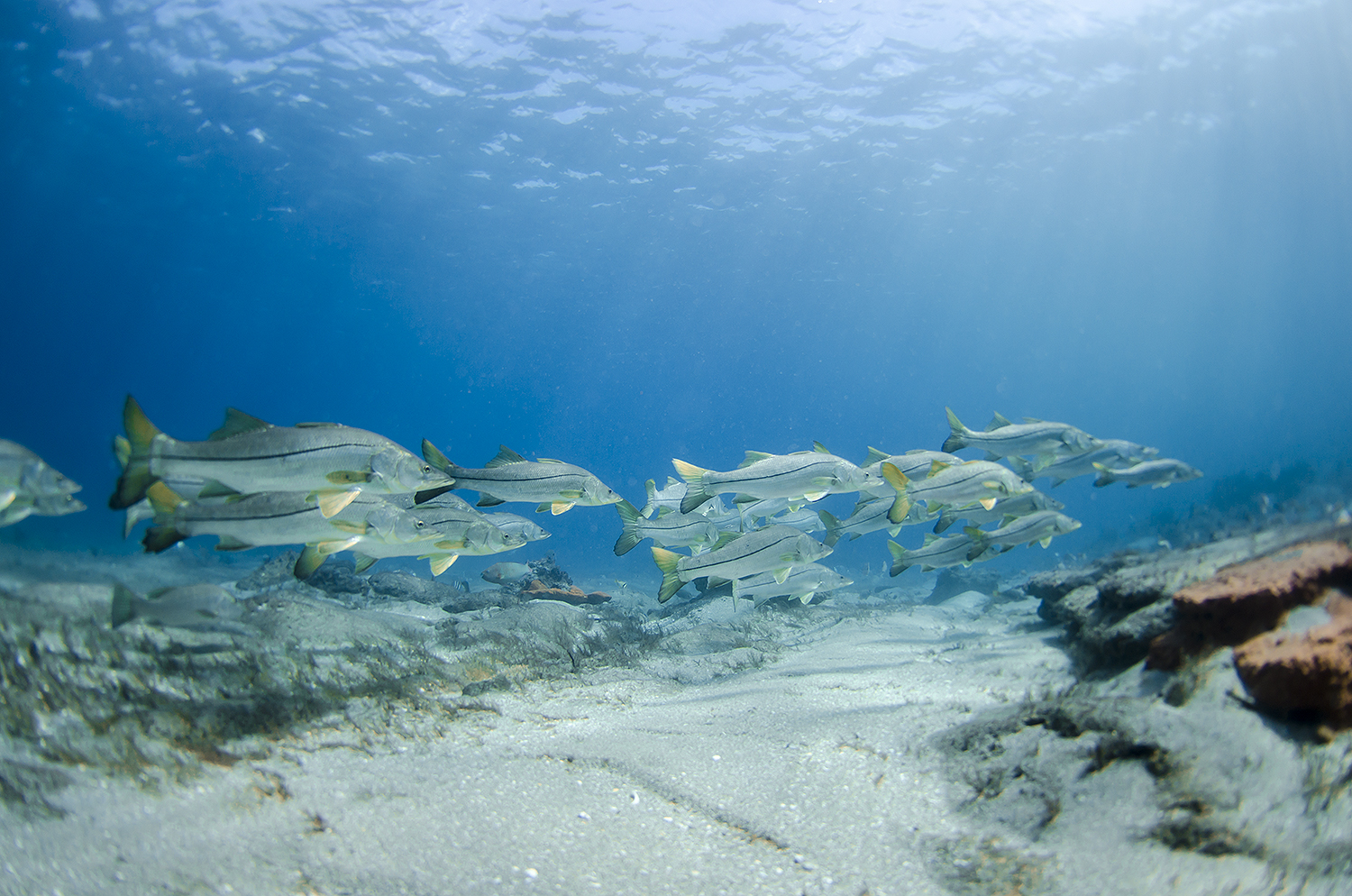 snook fishes photo and wallpaper. cute snook fishes pictures