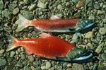 Sockeye salmons