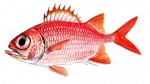 Soldierfish drawing