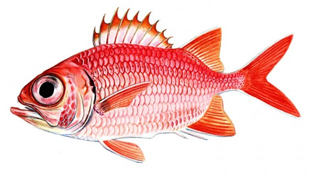 Soldierfish drawing wallpaper