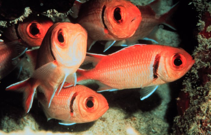 Soldierfish wallpaper