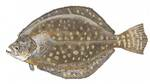 Southern flounder drawing