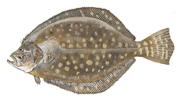 Southern flounder drawing wallpaper