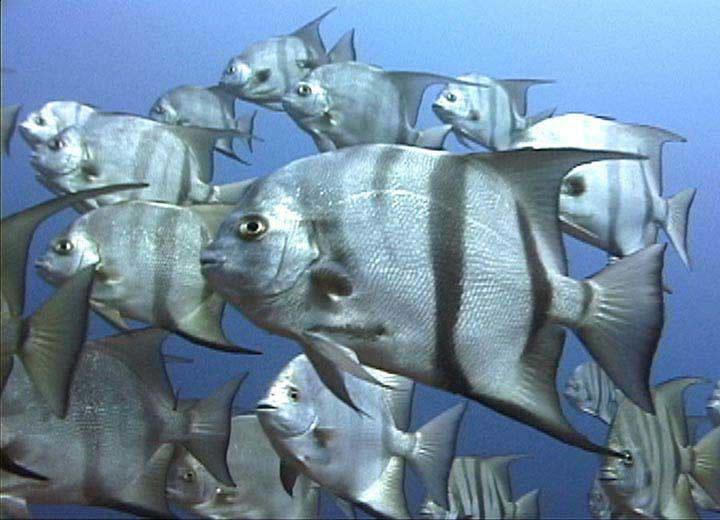 Рыбы-лопаты фото