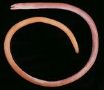 Spaghetti eel fish