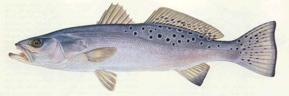 Speckled trout drawing wallpaper