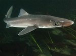Spiny dogfish swims