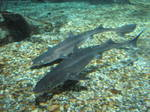 Spiny dogfishes