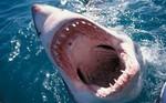 Spiteful Shark