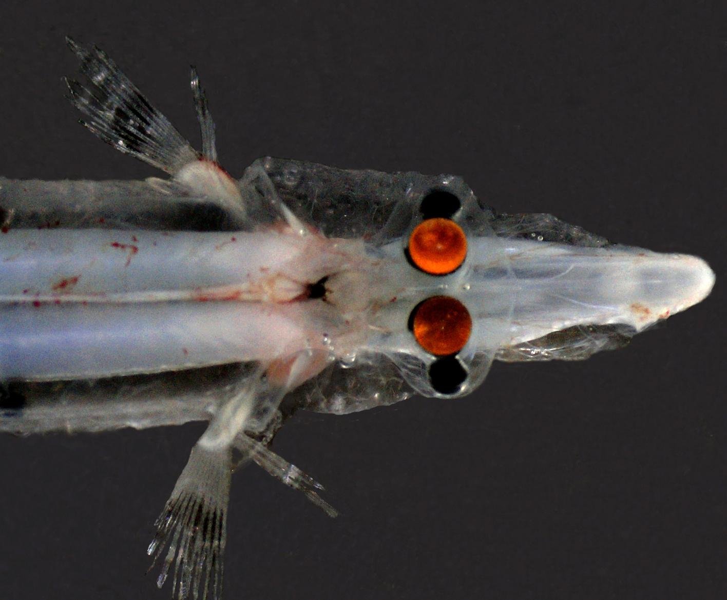 Опистопроктовая рыба вид сверху фото
