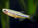 Spotted danio fish