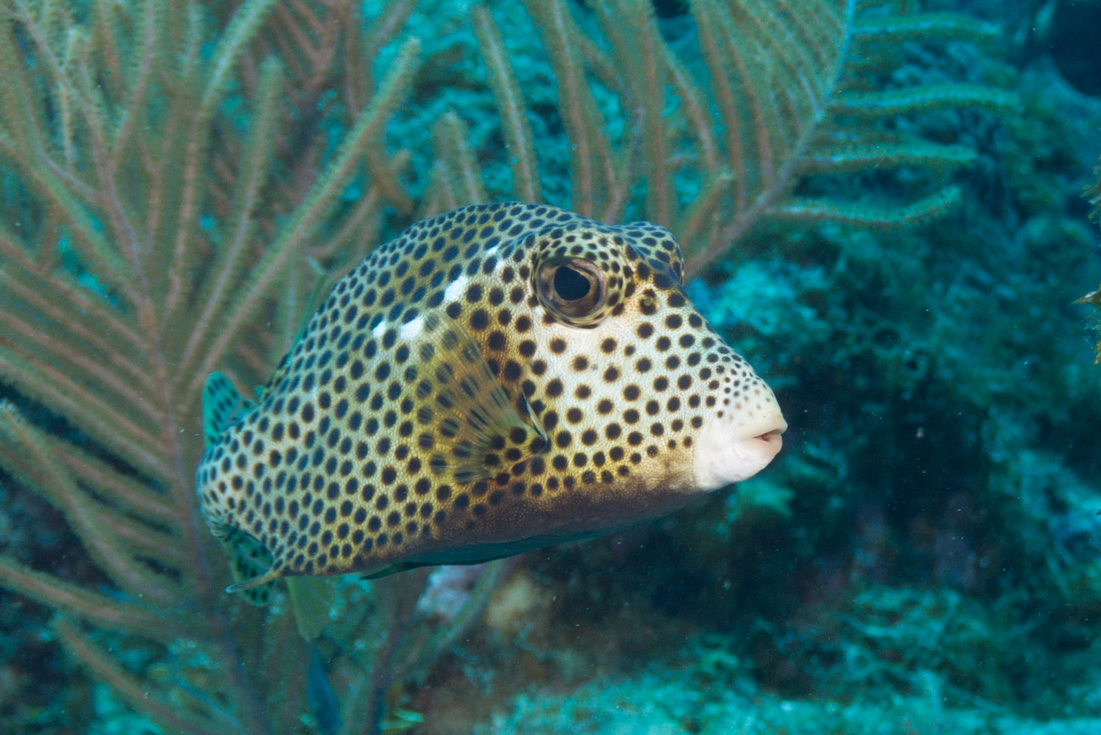 Spotted Trunkfish  wallpaper