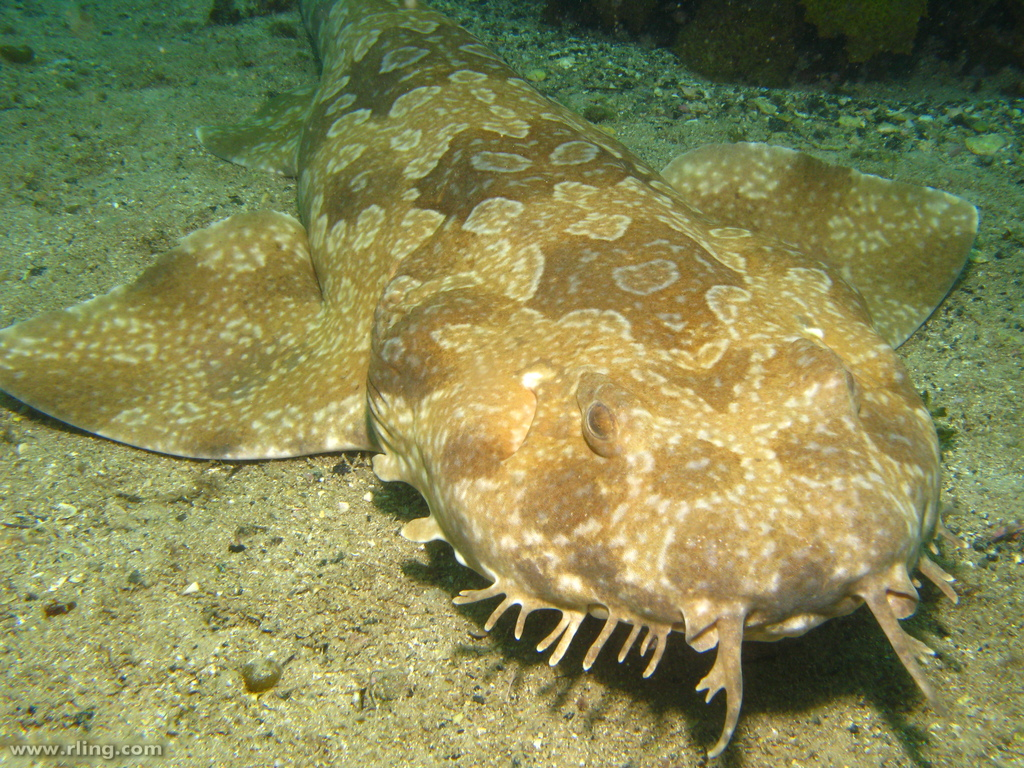 Spotted Wobbegong wallpaper