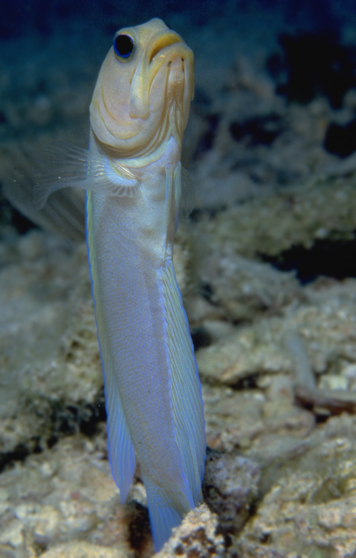 Standing Yellowhead jawfish wallpaper