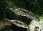 Stickleback fishes